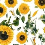074 Sonnenblume